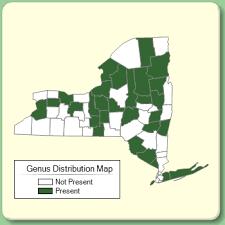 Deschampsia - Genus Page - NYFA: New York Flora Atlas - NYFA ...