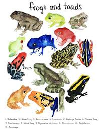 Illustrated Frog Chart