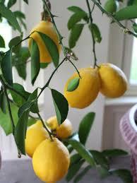 Best Grow Light For Citrus Tree How To Revive A Fussy Meyer Lemon Tree Hgtv