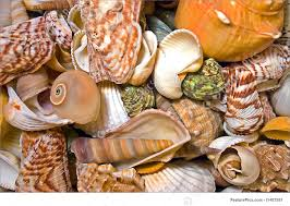 sea shells collection photo of sea shells collection