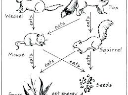 Food Chain Coloring Pages Koshigayainfo