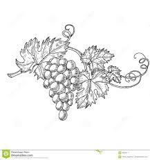 Hand Drawn Vector Illustration Of Branch Grapes Vine Sketch