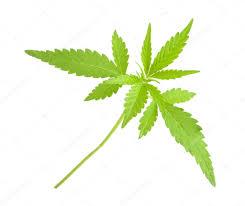 「Cannabis sativa L.」の画像検索結果