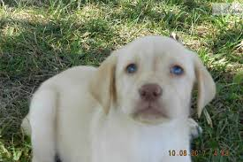yellow lab with blue eyes. Modren Eyes Previous Picture Next And Yellow Lab With Blue Eyes D