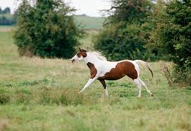 paint horses running in a field. Plain Paint KimballStock_HOR 01 GL0004 01_preview On Paint Horses Running In A Field N