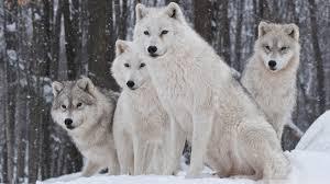 white wolf wallpaper 1920x1080. Modren White HD 169 To White Wolf Wallpaper 1920x1080 P