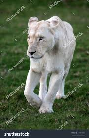 white lioness with blue eyes. Unique Lioness A White Lioness Looking Intensely With Her Blue Eyes In This Beautiful  Close Up Photo Of Inside White Lioness With Blue Eyes F