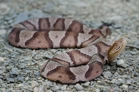 Top 10 Venomous North American Snakes
