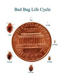 Size Of Bed Bugs Chart What Kills Bed Bugs Tips For Getting Rid Of Bed Bugs