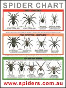 Spider Identification Chart Arkansas Spider Identification Chart Venomous Or Dangerous