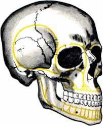 Реферат Анатомия черепа com Банк рефератов  Скуло височный контрфорс начинается от утолщения луночек первых двух больших коренных зубов и направляется кверху от скуловой кости которая сама упирается