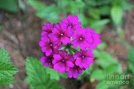 flowering pink garden heliotrope in bloom