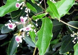 Manfaat daun waru bagi kesehatan kuncikesehatan
