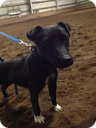 jack russell terrier mix black. Fine Mix Bellingham WA  Jack Russell Terrier Meet Black A Dog For Adoption For Terrier Mix K