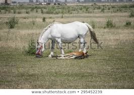 white baby horses playing. Perfect Playing White Fat Horse With Baby On The Field Eating Grass And Baby Horses Playing A
