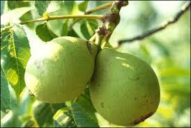 Plant ID Fruits U0026 Nuts Black Walnut  Florida Master Gardener Green Fruit Tree Identification