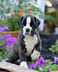 euro bo boxers produces quality european boxer puppies for show work or play our boxers are of select european american bloodlines