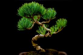 bonsai tree miniature japanese bonsai tree bonsai tree