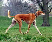 saluki dog. red smooth saluki.jpg saluki dog