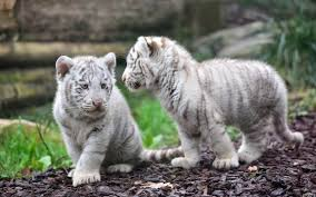 baby white tigers wallpaper. Interesting Wallpaper HD Wallpaper  Background Image ID477787 Inside Baby White Tigers A