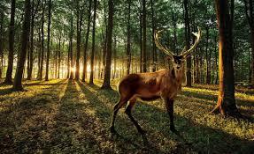 Fototapeta Příroda Jelen V Lese