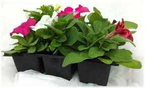our bedding plants are grown on by ourselves on site if you wish you can always select your
