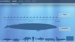 Blue Whale Size Chart How Blue Whales Compare To Humans In Size Image