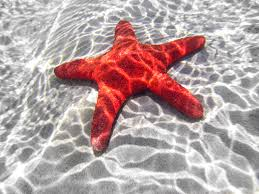 fascinating facts about sea stars learning about starfish