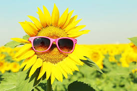 Image result for pictures of sunflowers