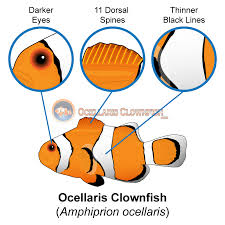 What Is The Difference Between Ocellaris Clownfish And