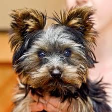 20170603rartaco2 3 tacio a 4½ month old yorkshire terrier taco
