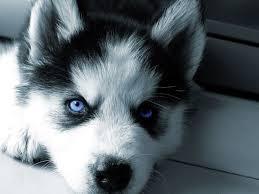 cute siberian husky puppy wallpaper.  Puppy Cute Siberian Husky Puppies 17 HD Wallpaper And Puppy