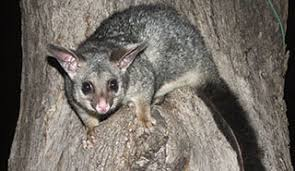 Legally-Approved Possum Removal in Melbourne - Protech Pest Control
