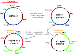 Flow Chart Of Cre Loxp Based Cloning Of A Promoter And