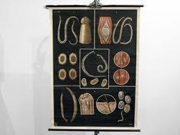 Vintage Biology School Chart From Deutsches Hygiene Museum Dresden