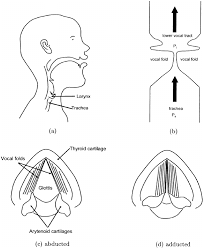 Larynx Chart Diagrams Of The Larynx And Vocal Folds A Midsagittal View