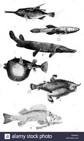 Bass Species Chart English Chart Showing Six Species Of Fish Published 1920
