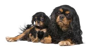 cavalier king charles spaniel black and tan puppy. Modren Cavalier In Cavalier King Charles Spaniel Black And Tan Puppy