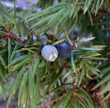 Common juniper
