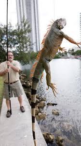 Resultado de imagen para invasion de iguanas en miami