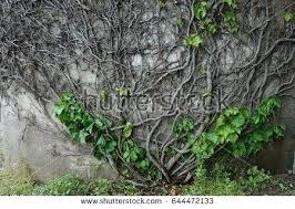vines on wall vine on wall vineyard vines wall decor
