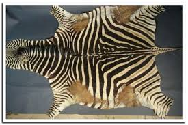 zebra skin rug photo 6 of genuine zebra rug 6 real zebra skin rug curtain image zebra skin rug