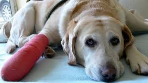 Tramadol For Dogs Uses Dosage Side Effects Dogtime