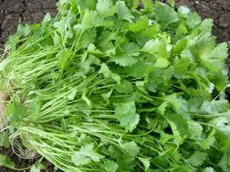 image of coriander seeds & leaves के लिए इमेज परिणाम