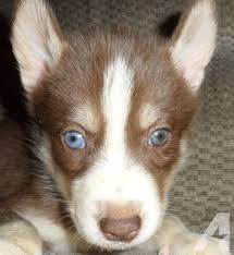 dark red husky puppy. Interesting Puppy Blue Heeler Dogs Pets And Animals For Sale In Peebles Ohio  Puppy  Kitten Classifieds Page 4 Buy Sell Kittens Puppies Americanlistedcom In Dark Red Husky I