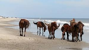 ancestors of outer banks wild horses