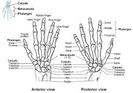 Bone Age Wrist Chart Bones Of The Upper Limb Anatomy And Physiology I
