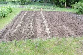 soil is prepared and the furrows are ready for the sweet potatoes to be planted