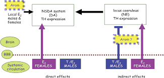 estrogen actions in the brain and the basis for differential estrogen actions in the brain and the basis for differential action in men and women a case for sex specific medicines pharmacological reviews