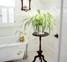 ... Large-size of Stupendous Bathroom Spider Plants Bathroom Spider Plants  Good Plants Gallery Xtend in ...
